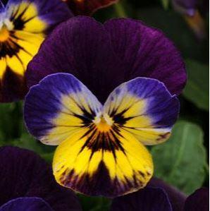 Viola Sorbet Midnight Glow