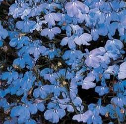 Lobelia Regatta Sky Blue2
