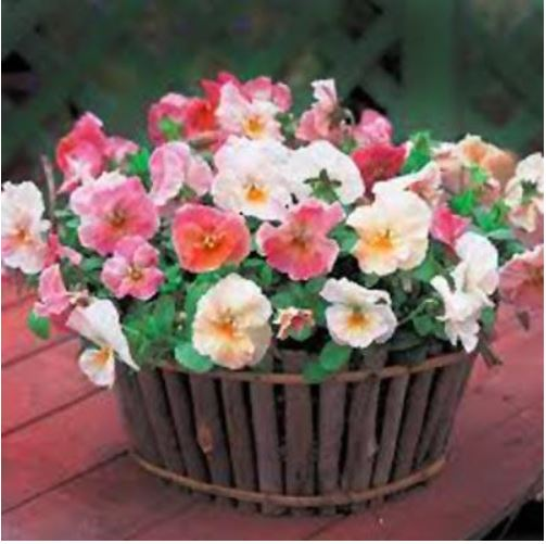 Pansy Imperial Antique Shades