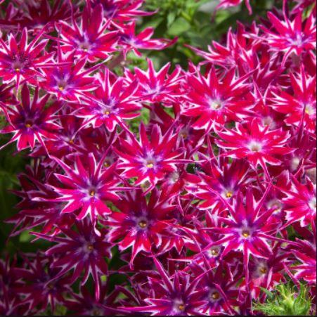 Phlox Popstars Purple1