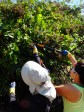 Harvesting the Blackberries while the invasive Species Removal is happening
