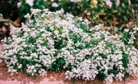 Shop Alyssum, Carpet of Snow and other Seeds at Harvesting ...