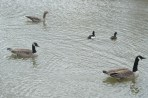 Canada Geese and Tufted Ducks