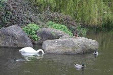 Swan and mallards