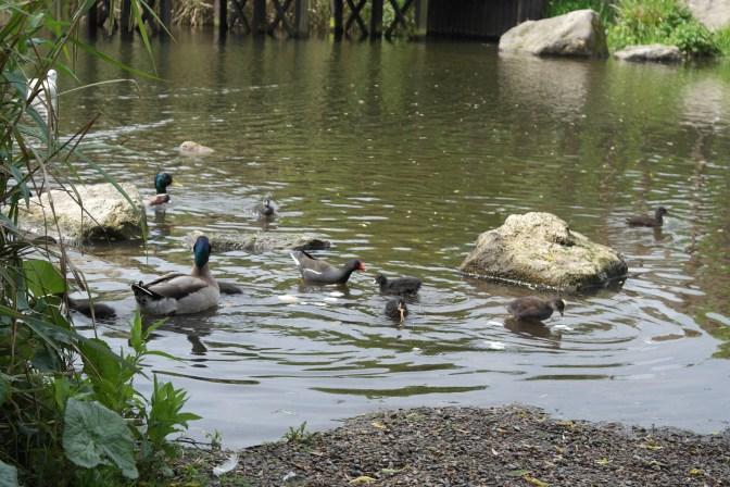Mallard and moorhen ducklings