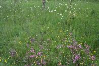 Ragged robin, buttercups, ox-eye daisies