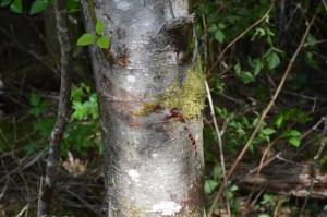 Vancouver Island Bear Bloodtrail