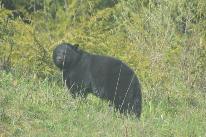 Vancouver Island Bear Sow