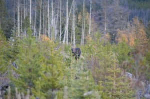 Hunting Moose in British Columbia