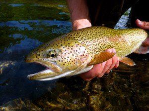 Quality rainbow trout often provide exciting bycatch when targeting kings.