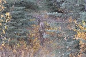 Whitetail deer in British Columbia