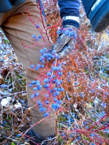 Blueberries in alpine tundra