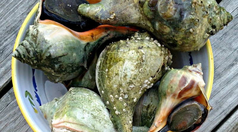 new england whelk