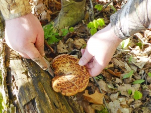 Pheasant Back Mushrooms