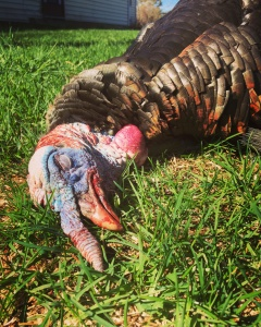 Turkey Hunting in Ontario