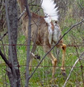 Missed buck