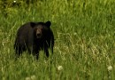 Black Bear Hunting in Florida