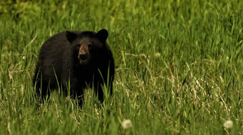 Black Bear Hunting in Florida