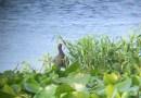 Florida Moorhen Hunting