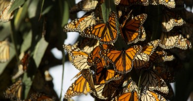 Is it Too Late for the Western Monarch Butterfly?