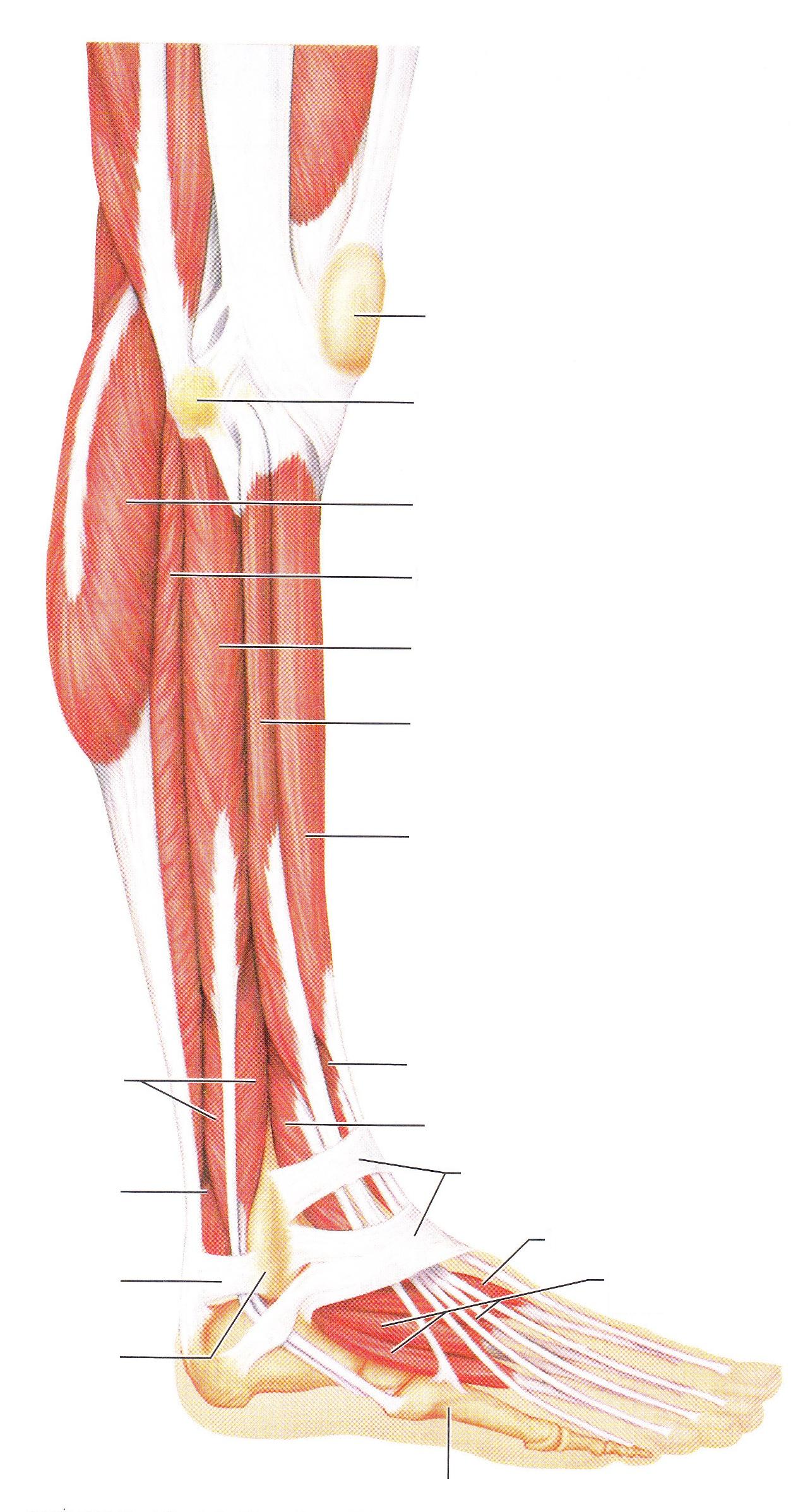 hight resolution of blank leg diagram wiring diagram centre blank leg diagram