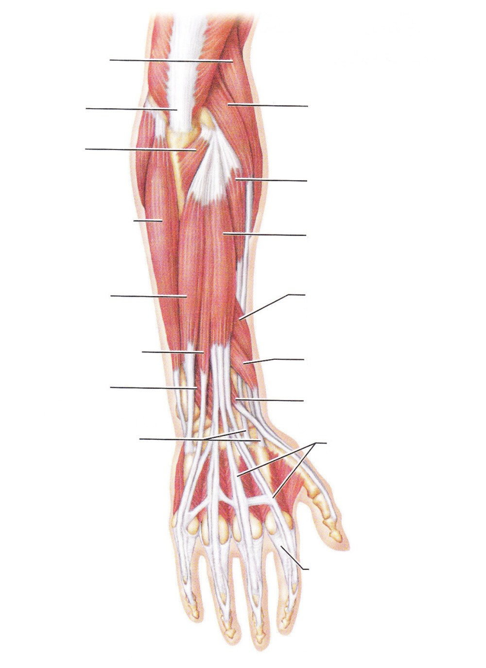 medium resolution of blank arm muscle diagram