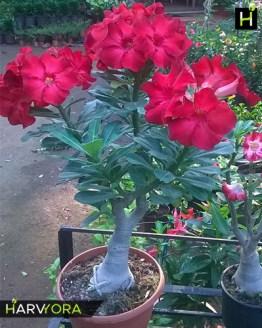 , Harvyora Buy adenium plants online india, Harvyora