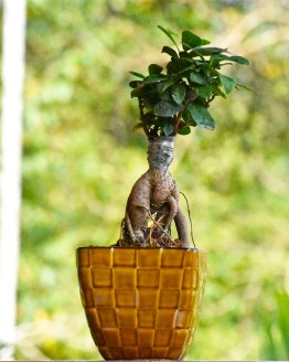 , Ficus Bonsai ( Grafted Bonsai – Indoor plant), Harvyora, Harvyora