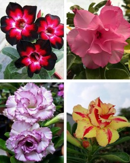 , Adenium Bonsai Four Color Combo (Package of Four, For Your Memory-Fathumalatha-Violet Splash-Desert Fire)[code-HMFC05], Harvyora