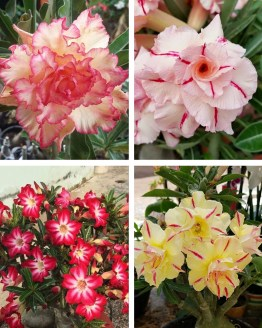, Adenium Bonsai Four Color Combo (Package of Four, Triple Shower-Peach red Romance-Rolling Red-Summer Candy)[code-HMFC01], Harvyora, Harvyora