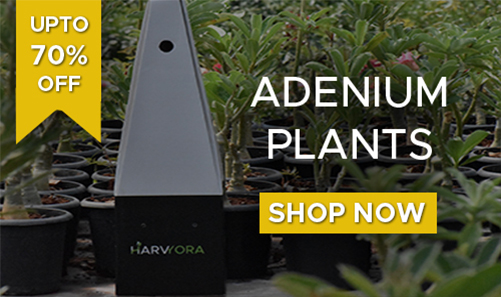 Adenium Plants, Buy Adenium Plants Online Maharashtra, UPTO 70% OFF, Harvyora
