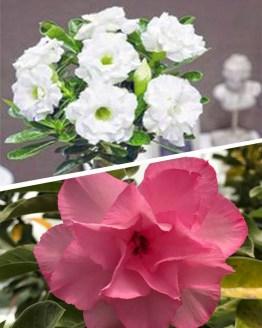 Adenium Plants, Adenium plants online india. Lagest adenium plant collection at your door step. Great discounts on grafted adenium bonsai, Harvyora, Harvyora
