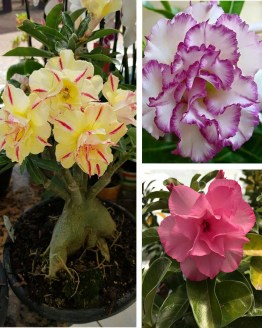 , Adenium Bonsai Three Color Combo (Package of Three, Summer Candy-Fathumalatha-Flora Valentine)[code-HMTC11], Harvyora
