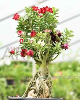 Multi grafted Adenium Bonsai