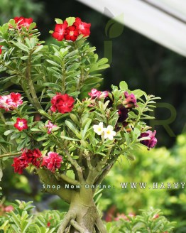 Multi grafted bonsai 2