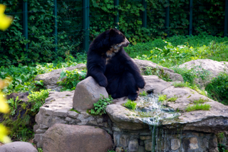 Bild: Brillenbär im Zoo Aschersleben.