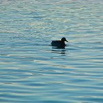 Bild: Im Wasser ist es wärmer als draußen - Wildente auf dem Concordiasee.