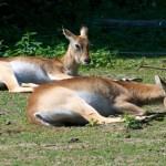 Bild: Litschi-Sumpfantilopen