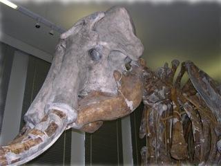 Bild: Das Altmammut (Mammuthus trogentherii) von Sangerhausen im Spengler-Museum Sangerhausen.