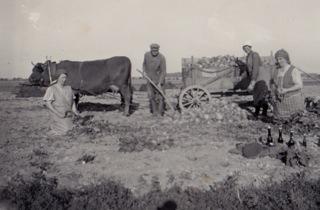 Bild: Fuhrwerk mit Kuh bei der Ernte. Historisches Foto aus den 1930er Jahren. Aufnahme von Ronald Ecke.