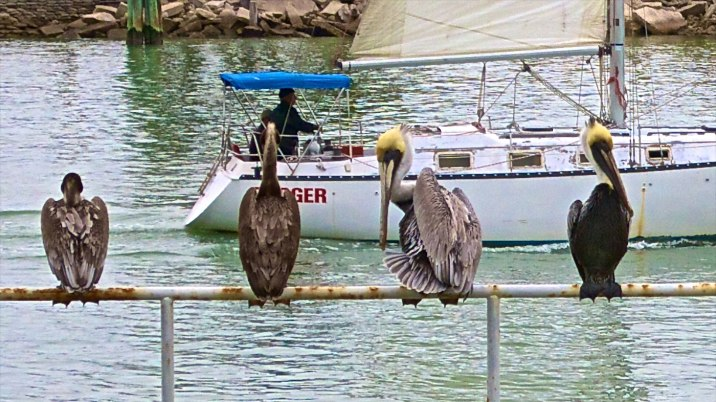 Pelicans enjoying the view at John's Pass.