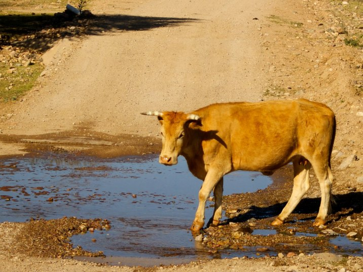 Sometimes the red lines on the map mean shallow water crossings and cows in the road.