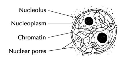animal cell coloring diagram dayton reversible motor wiring structure of nucleus | hasanul007's blog