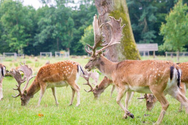 Ivenacker Eichen 14 Hirsche