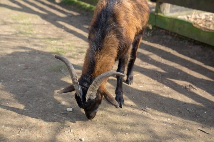 Haustierpark Lelkendorf Ziege