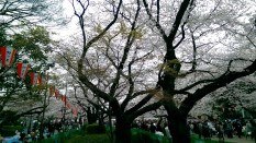 Picnics under the Cherry blossoms at Ueno Park. Image credit: Hasmukh Chand