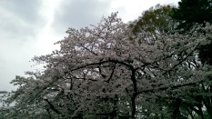 Cherry blossoms at Ueno Park. Image credit: Hasmukh Chand