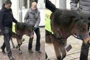 حصان قزم يعمل دليلا للمكفوفين في بريطانيا