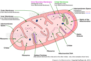 The smallest members of our physical selves: Cells – #