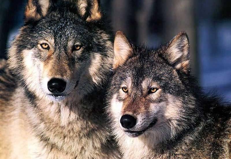 Priča o zadnjem vuku u Vukomeriću